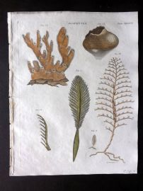 Encyclopedia Britannica 1801 Hand Col Print. Zoophytes. Coral 581
